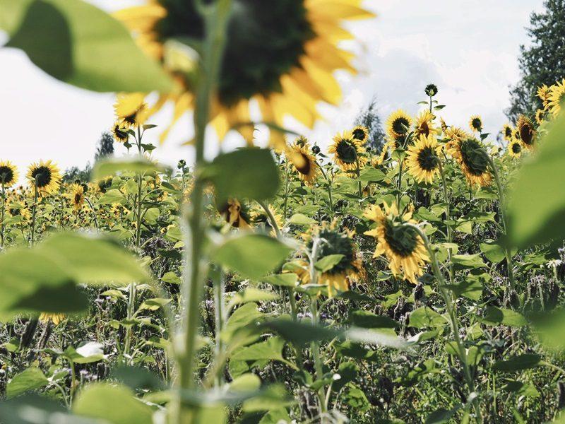auringonkukkapelto tampere 2021