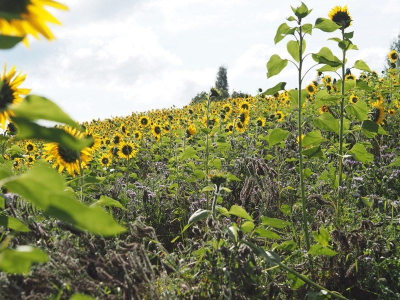 tampere auringonkukkapelto